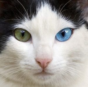 cat-blue-and-green-eyes